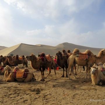 Camels. Mingsha Mountain Crescent Spring Resort, Dunhuang, Gansu, September 2018
