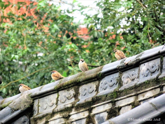 Sparrows. Wenshu Monastery, Chengdu, Sichuan, September 2018