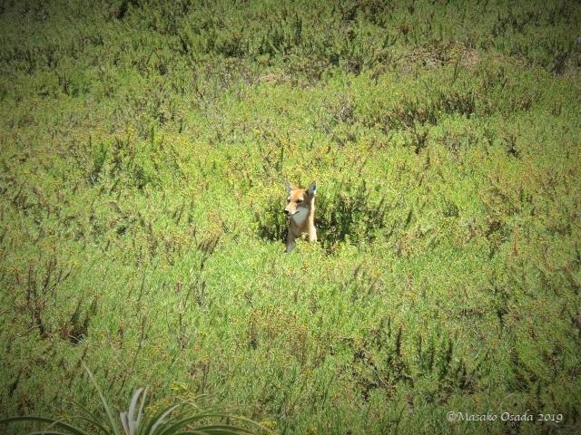 Ethiopian wolf, Guassa, Ethiopia, January 2019