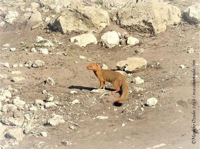 Slender mongoose, Chobe, Botswana, August 2019