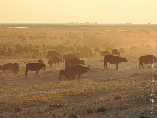 Buffalo at sunrise, Chobe, Botswana, August 2019