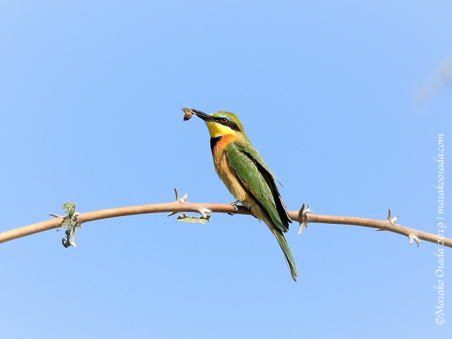 Little bee-eater eating bee, Chobe, Botswana, Augut 2019