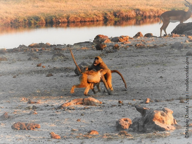 Chacma baboons fighting, Chobe, Botswana, August 2019