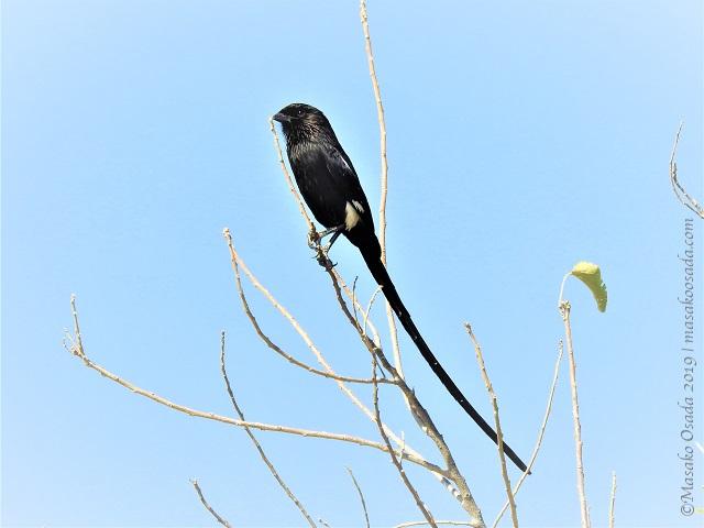 Magpie shrike, Chobe, Botswana, August 2019