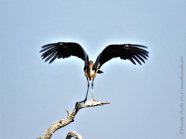 Marabou stork, Chobe, Botswana, August 2019