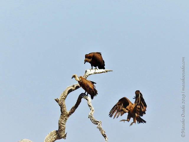 White-headed vultures, Chobe, Botswana, August 2019