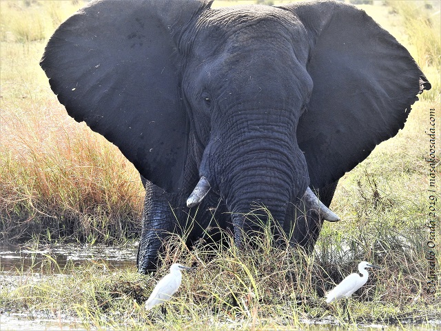 Elephant and little egrets, Chobe, Botswana, August 2019