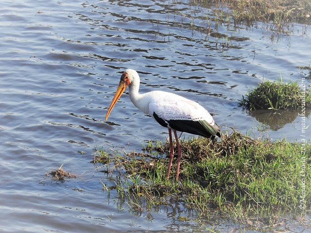 Yellow-billed stork, Chobe, Botswana, August 2019