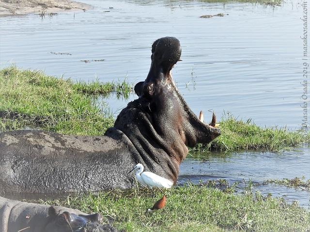 Hippo yawning, Chobe, Botswana, August 2019