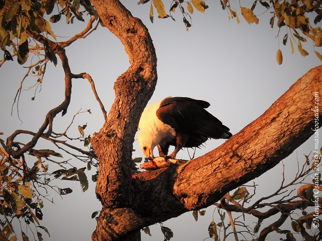 Fish-eagle eating fish, Chobe, Botswana, August 2019