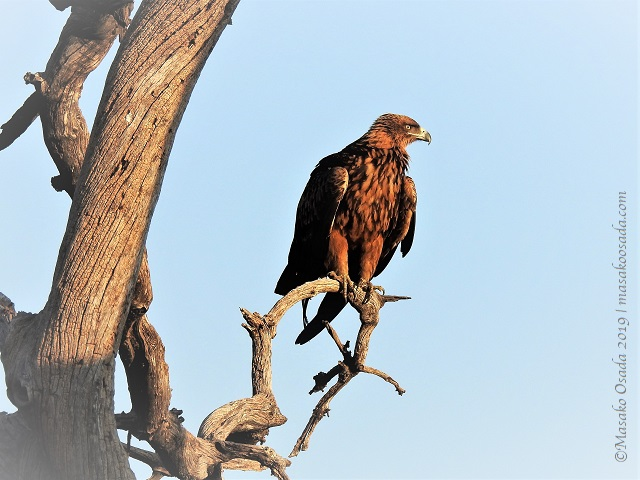 Lesser spotted eagle, Chobe, Botswana, August 2019