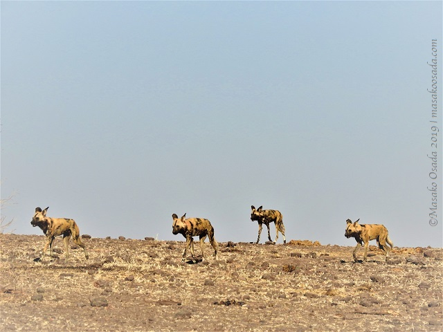 African wild dogs, Chobe, Botswana, August 2019