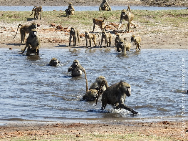 Chacma baboons crossing river, Chobe, Botswana, August 2019