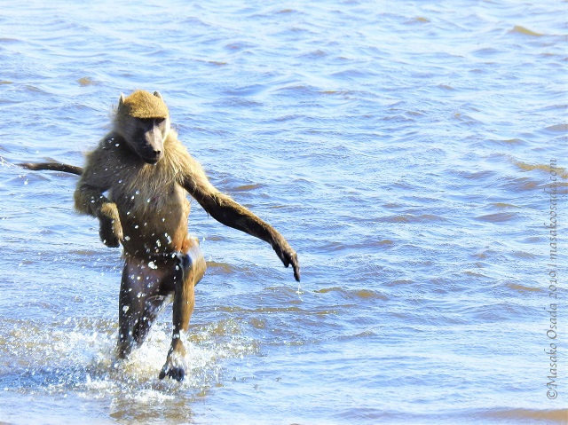 Chacma baboons crossing the river. Some kept their arms up as if they didn't want them to get wet. Chobe, BChama baboon crossing river, Chobe, Botswana, August 2019otswana, August 2019