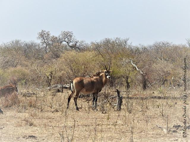 Roan antelope, Chobe, Botswana, August 2019