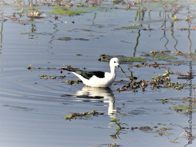 Black-winged stilt, Chobe, Botswana, August 2019