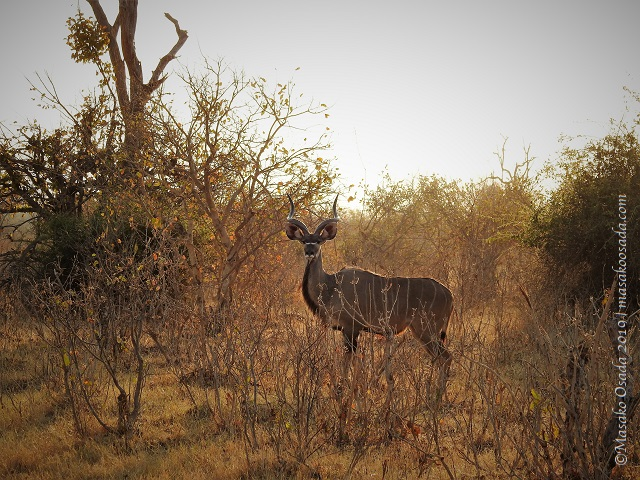 Kudu, Chobe, Botswana, August 2019
