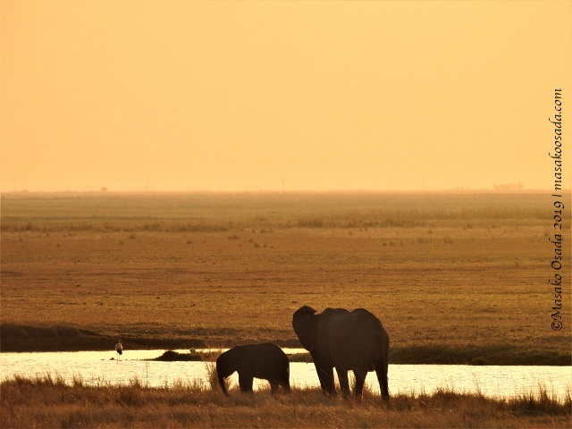 Elephants at sunset, Chobe, Botswana, August 2019