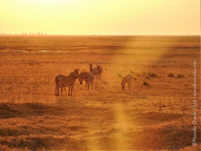 Zebras at sunset, Chobe, Botswana, August 2019