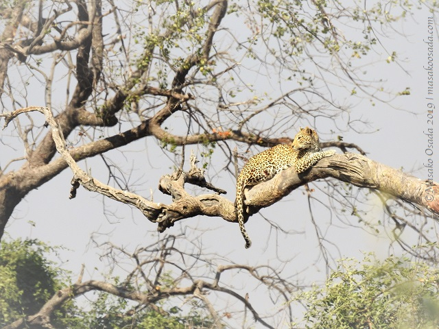 young male leopard, Chobe 190815