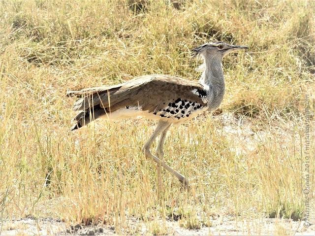 Kori bustard, Chobe, Botswana, August 2019
