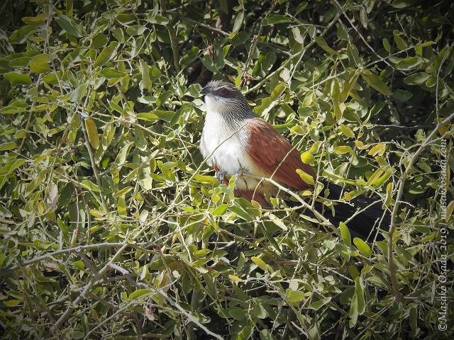 White-browed coucal, Chobe, Botswana, August 2019