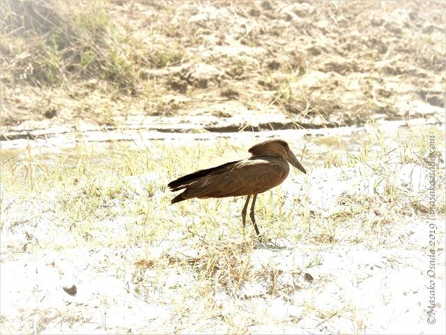 Hamerkop, Chobe, Botswana, August 2019
