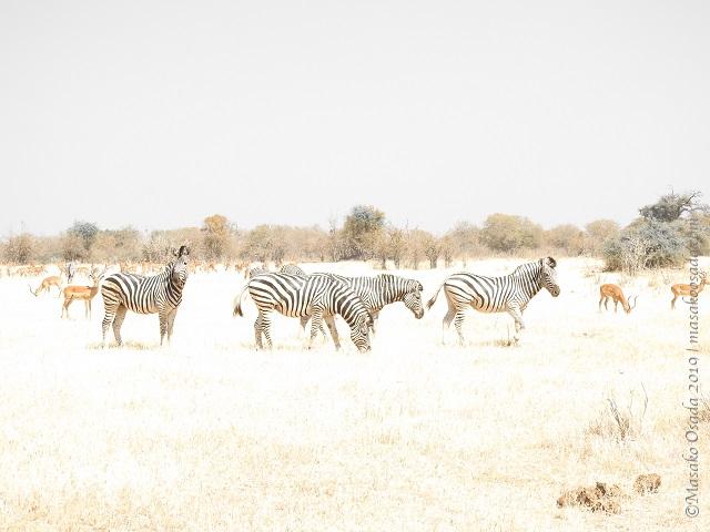 Zebras, Chobe, Botswana, August 2019