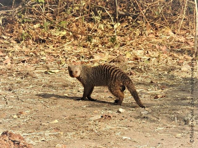 Banded mongoose, Chobe, Botswana, August 2019