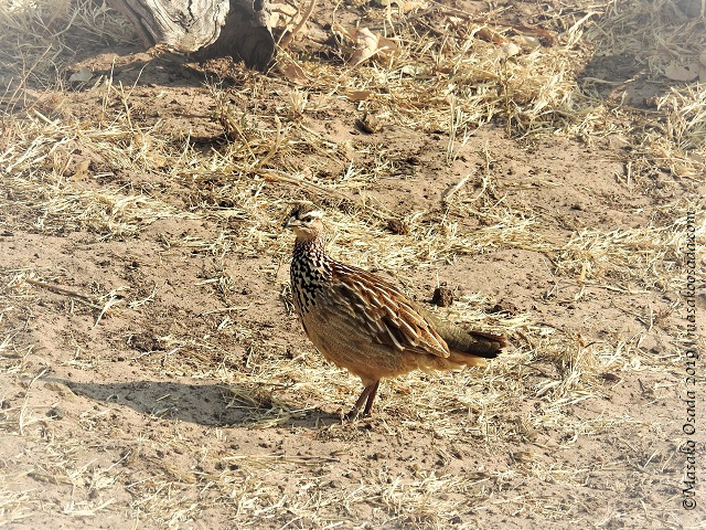 Crested francolin, Chobe, Botswana, August 2019