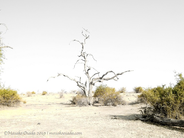 Dead tree, Chobe, Botswana, August 2019
