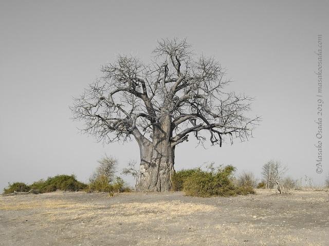 Baobab, Chobe, Botswana, August 2019