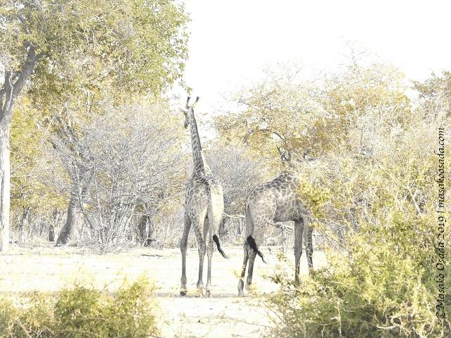 Giraffes, Chobe, Botswana, August 2019
