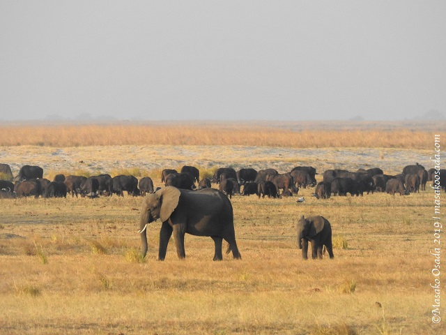 Elephants walking in front of buffalo, Chobe, Botswana, August 2019