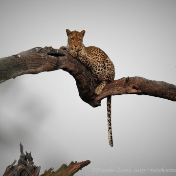 young male leopard back on tree, Chobe, Botswana, August 2019