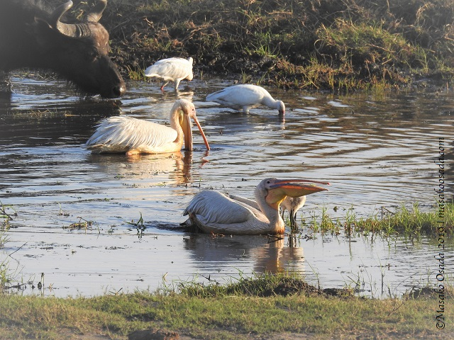 Great white pelicans, Chobe, Botswana, August 2019
