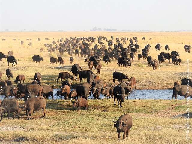 Buffalo going back to land, Chobe, Botswana, August 2019