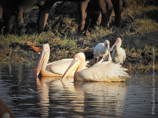 Pelicans and spoonbills, Chobe, Botswana, August 2019