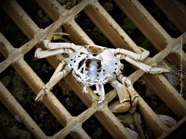 Crab shell, Kumejima, Okinawa, November 2019