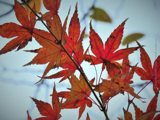 Leaves turning red. Sumida Hokusai Museum, Tokyo, November 2019